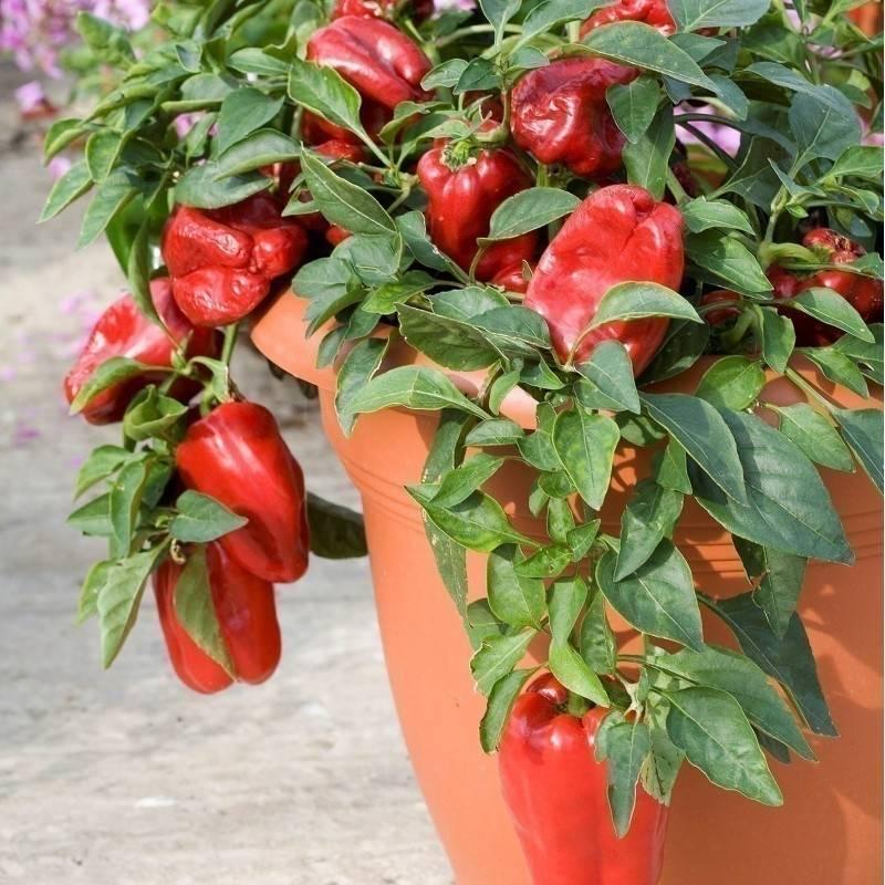 Cómo cultivar pimientos en macetas