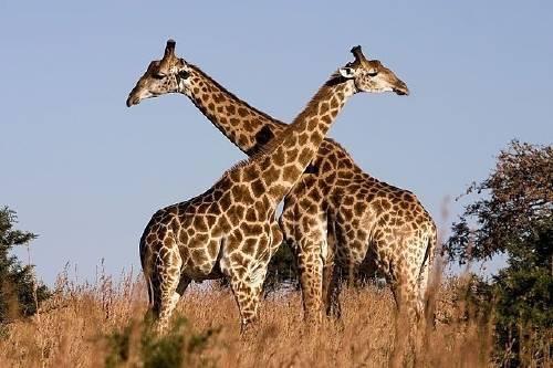 Día mundial de las jirafas: ¡Si las amas déjalas libres!