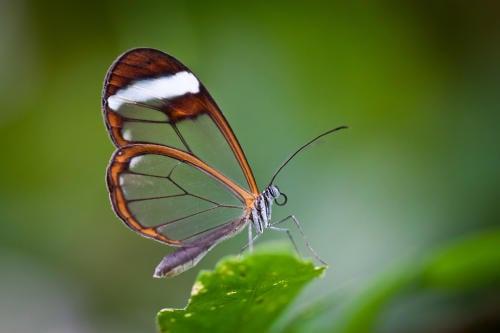 Conoce a la mariposa más hermosa y sorprendente del mundo