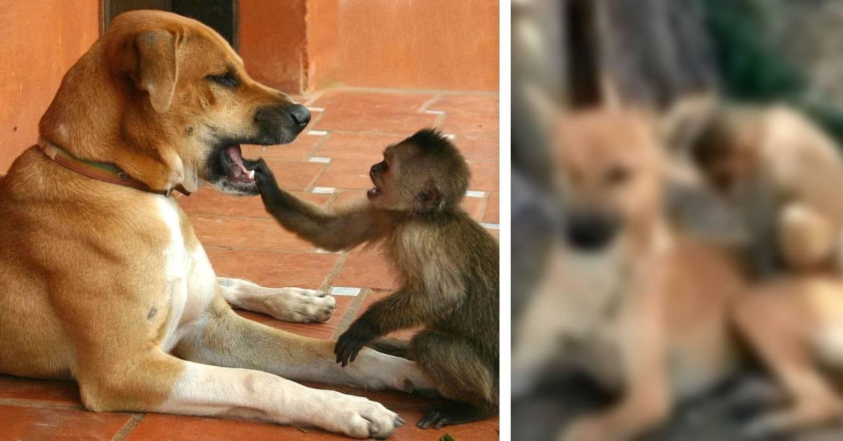 Esta perrita salvó a un mono y lo adoptó como si fuera su cachorro