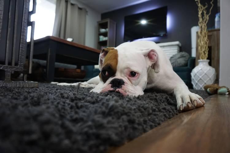 Un perro recostado sobre una alfombra