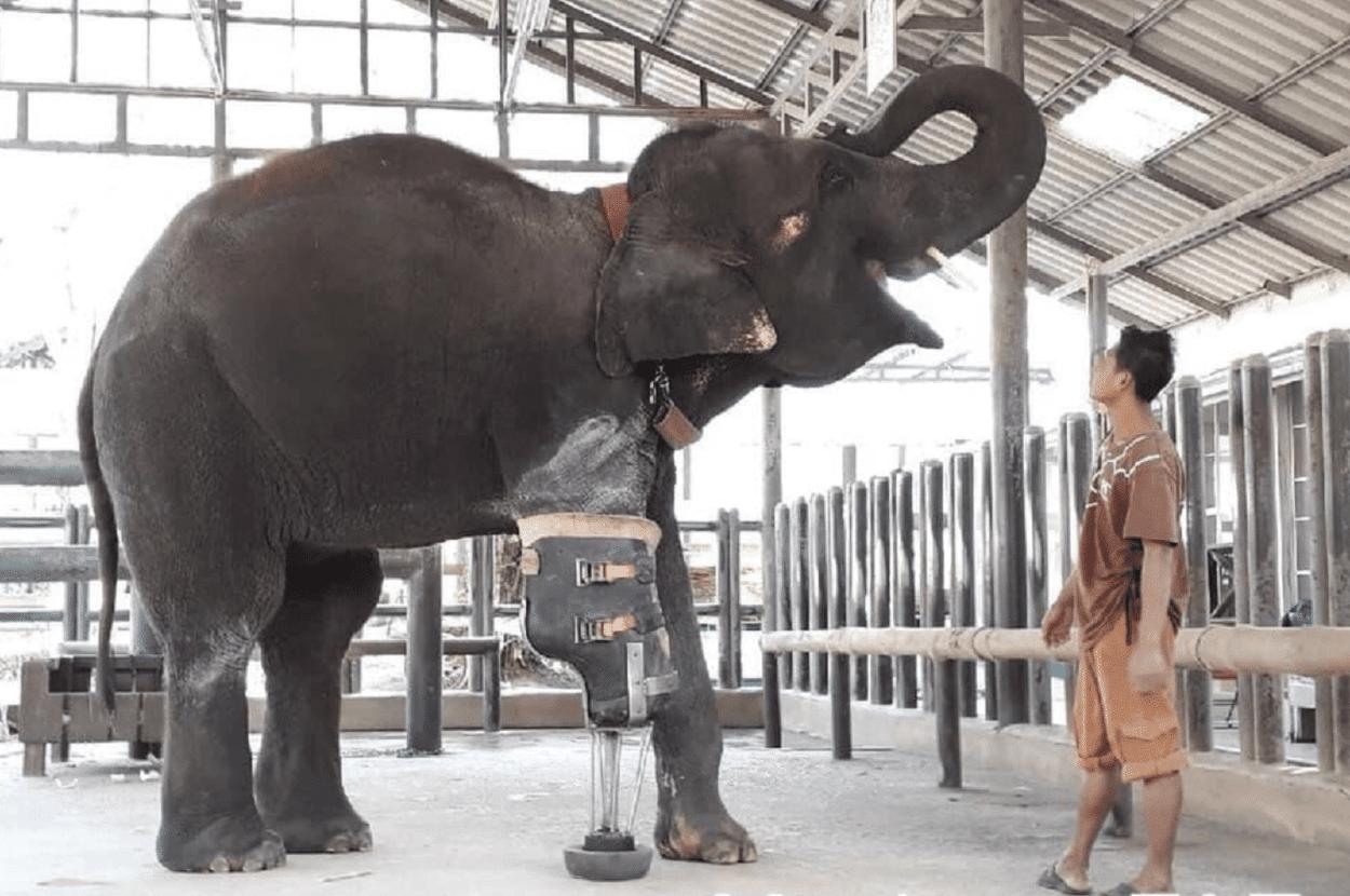 Veterinaria ayuda con prótesis a elefantes que pisaron minas explosivas