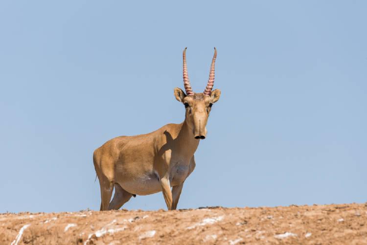 Antilope Aiga