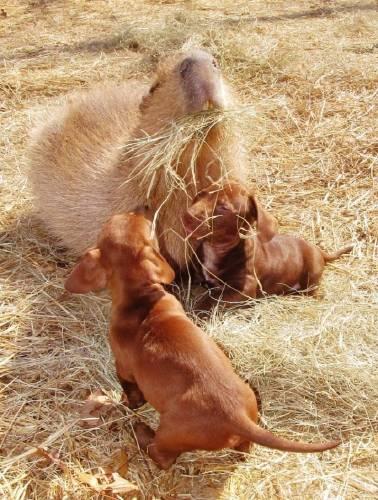 Conoce al carpincho que cuida cachorros abandonados
