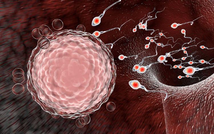 ovulo y espermatozoides fertilidad