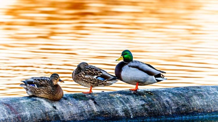 santuario migratorio aves canada