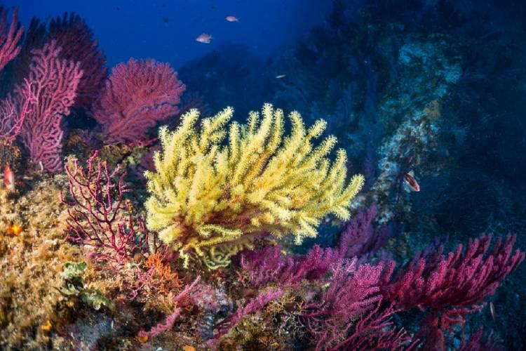 gorgonia marina biodiversidad