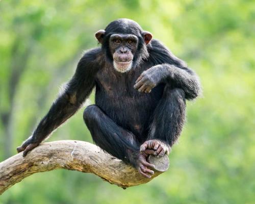 Reforestarán 3 millones de árboles para prevenir la extinción de chimpancés