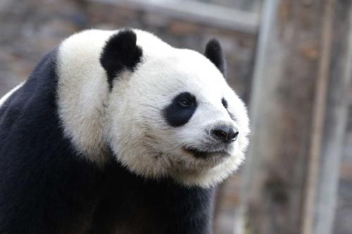 """El panda más viejo del mundo, conocido como """"madre heroína"""", murió a los 38 años"""