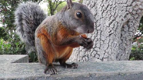 Invasión de ardillas en Buenos Aires: introducción de una especie exótica