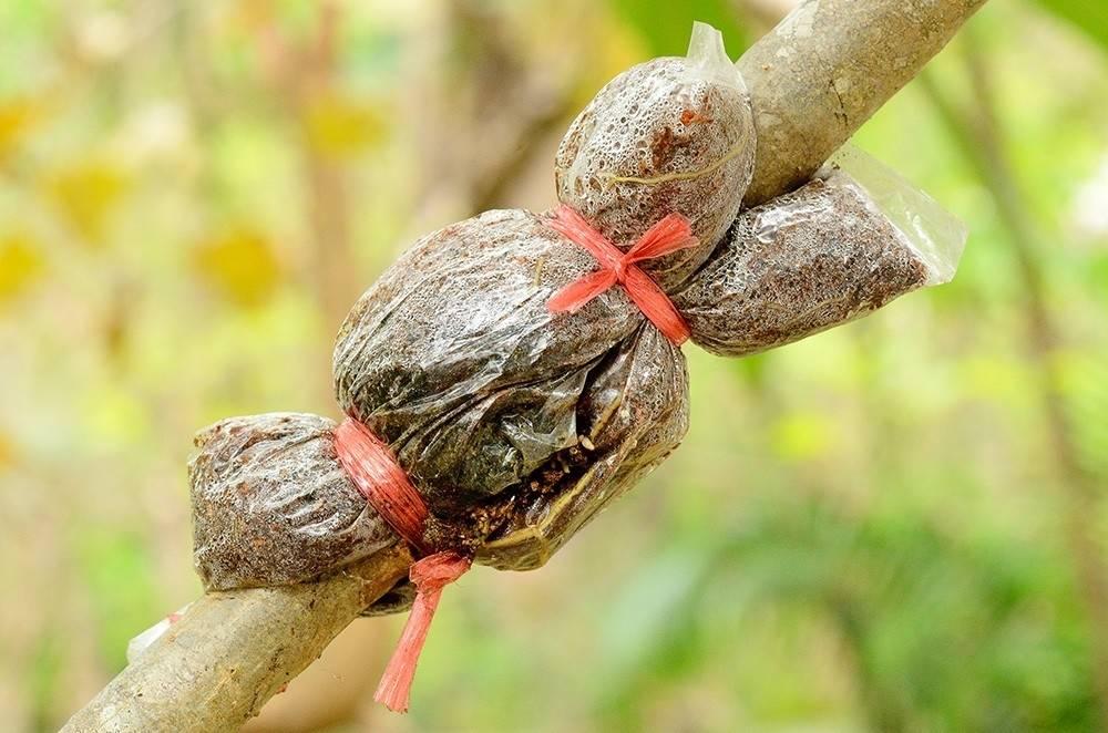 Cómo transformar una rama de tu frutal en un nuevo árbol