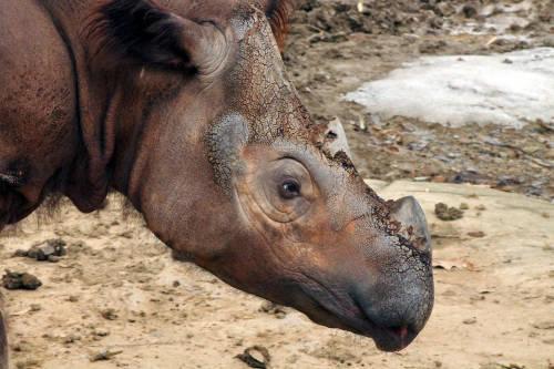Malasia se despide del último rinoceronte de Sumatra