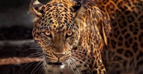¿El tren maya está matando a miles de jaguares?