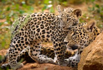 leopardo madre hijo