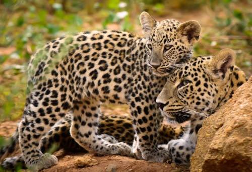 Las trampas ilegales están acabando con los tigres y los leopardos asiáticos