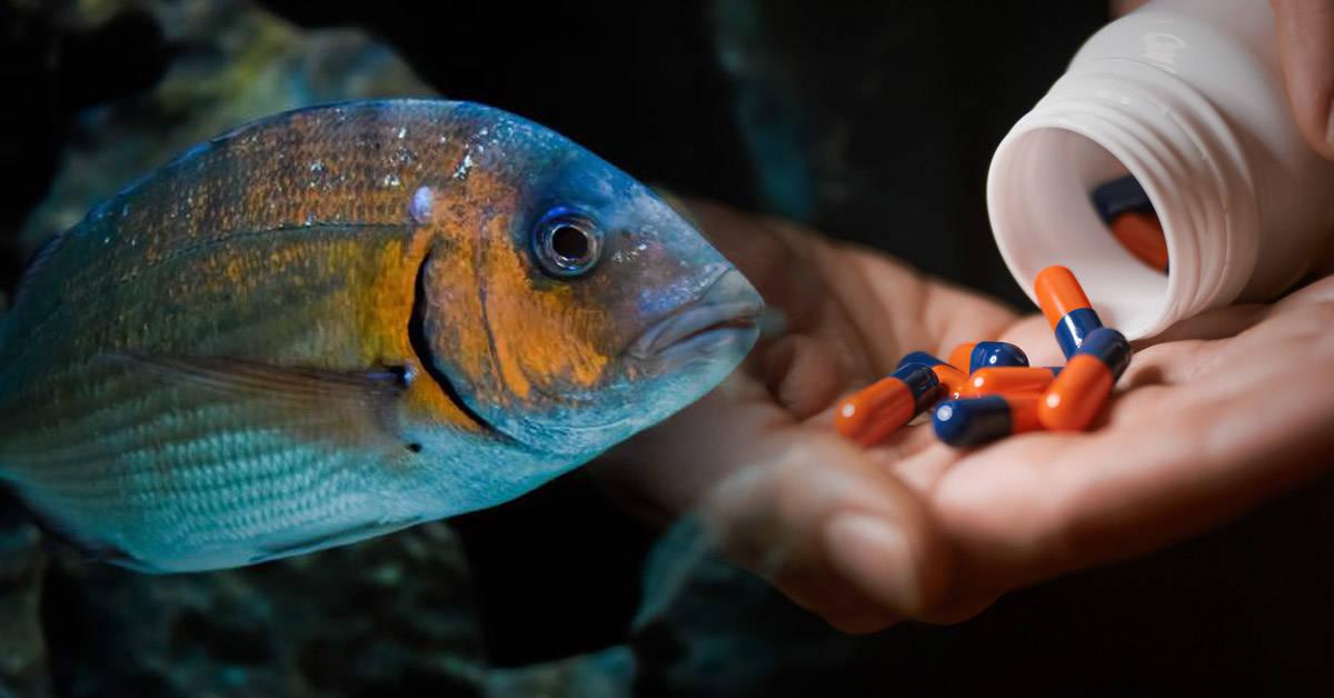 Los peces sufren los efectos secundarios de los antibióticos y antidepresivos que tomamos