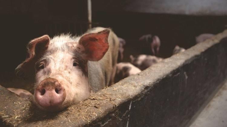 Estos cerdos mutantes descubiertos en una granja asiática te dejarán sin pal..