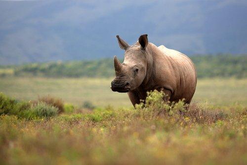 Sudáfrica reduce la caza de rinocerontes