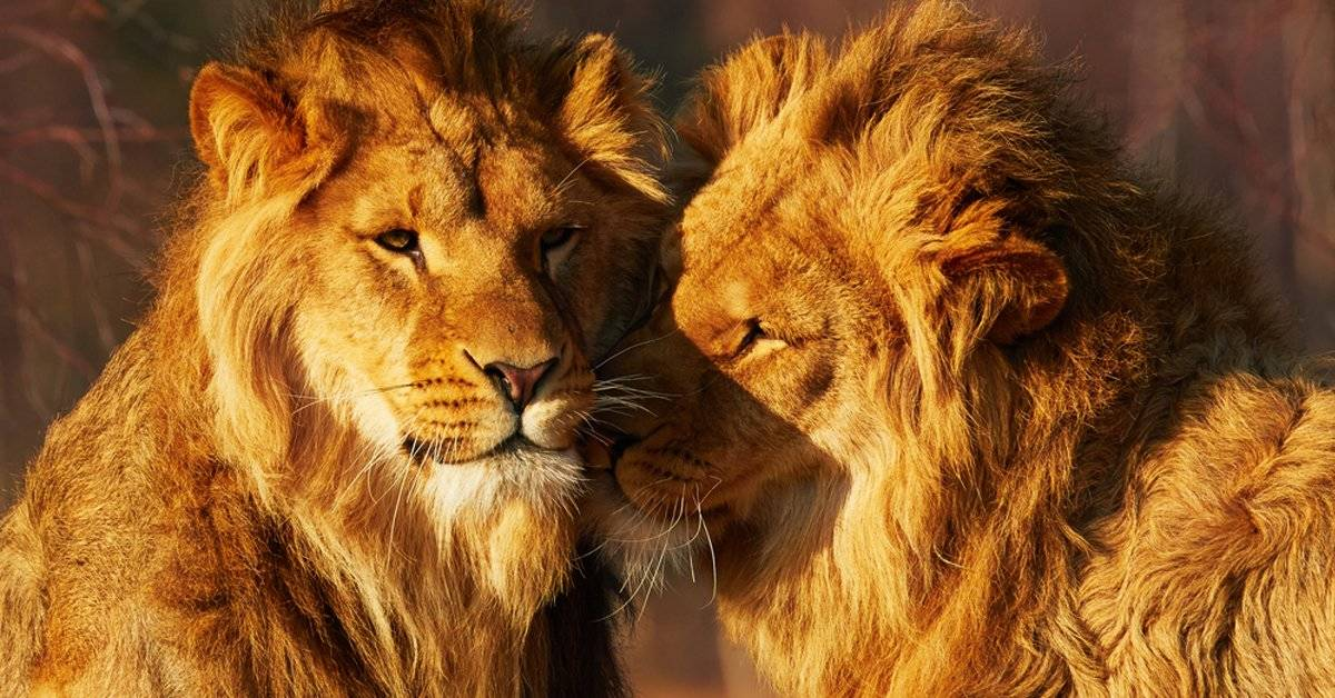 Un león salvó a su amigo de ser devorado por 20 hienas y el video se hizo viral