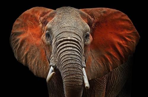 De esta cruel manera están muriendo los elefantes en Zimbabue