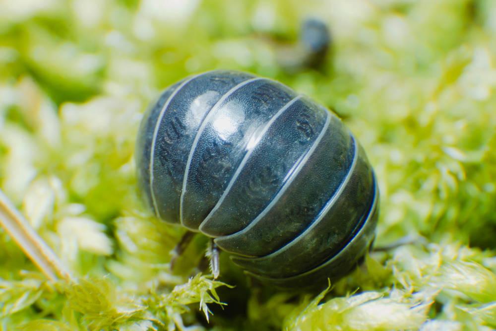 Los bichos bola hacen un trabajo fundamental para la salud del suelo