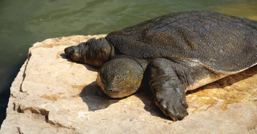 Murió la última hembra de una especie de tortuga en crítico peligro de extinción