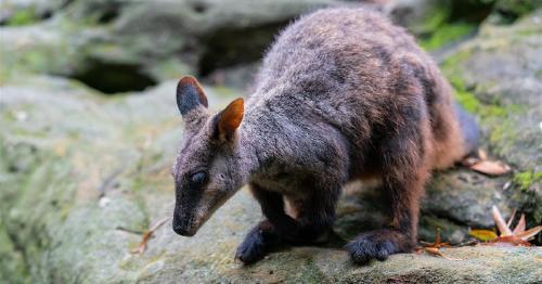 En búsqueda de un nuevo hogar para el walabi australiano