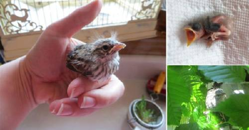 La increíble historia de una mujer que crió un polluelo caído de su nido