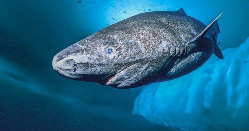 El tiburón más viejo del mundo vive en Groenlandia y tendría más de 500 años