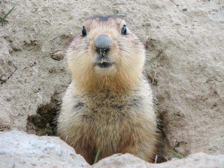 marmota 2