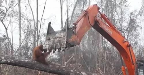 El impactante video de un orangután enfrentándose a una excavadora conmociona al mundo entero