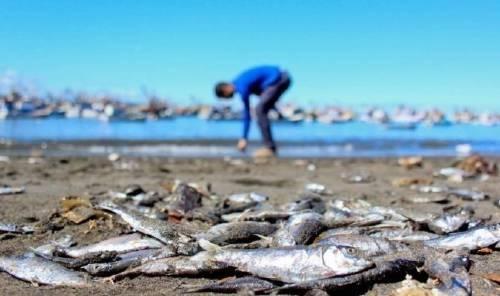¿Qué es lo que está matando a miles de peces en Chile?