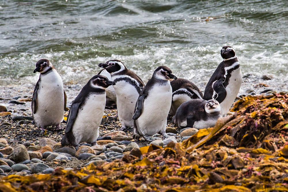 Descubrieron una nueva colonia de pingüinos en Argentina