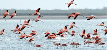 Flamencos volando en Lago Mar Chiquita