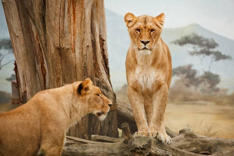 Dos leonas junto a un árbol
