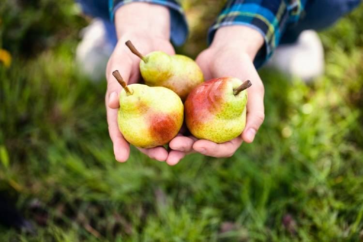 Pera: una de las frutas con más pesticidas