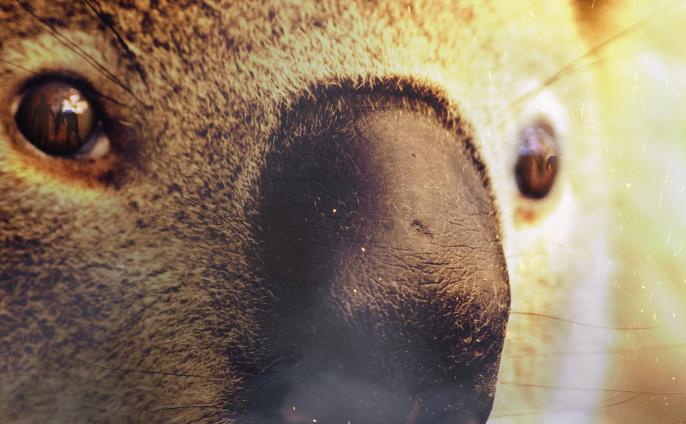 Los koalas, sin tregua: una especie amenazada por los incendios forestales