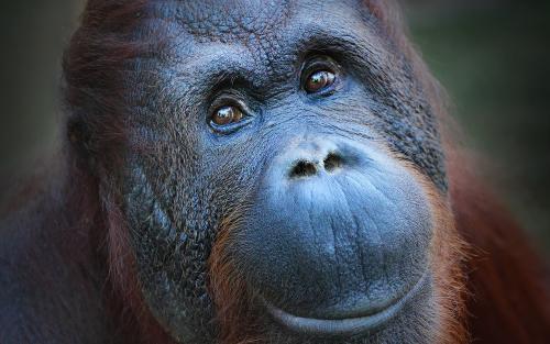 Avistan un ejemplar de orangután albino en los bosques de Borneo