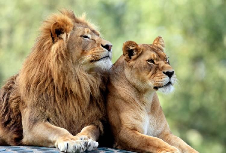 Un león y una leona recostados uno al lado del otro