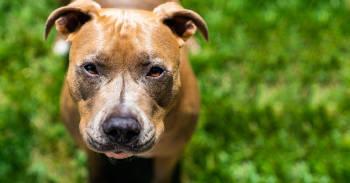 Imagen de un perro raza pitbull