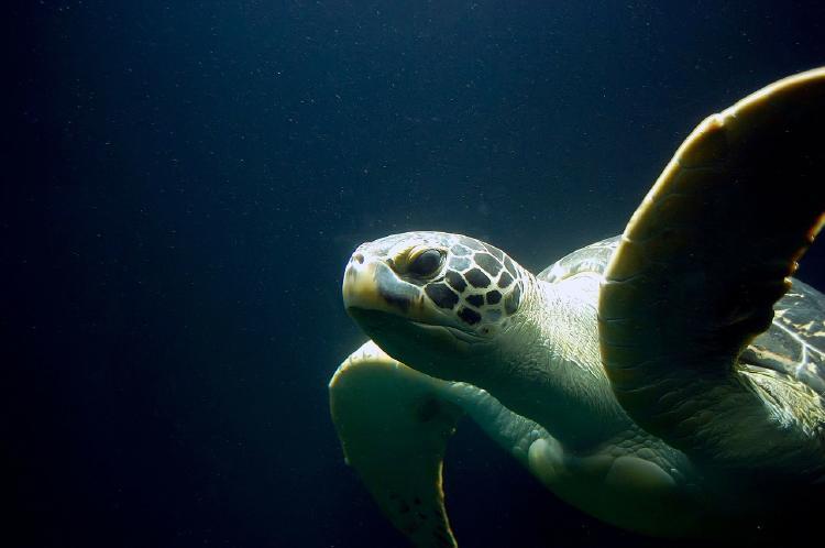 sea-turtle-335839_1280