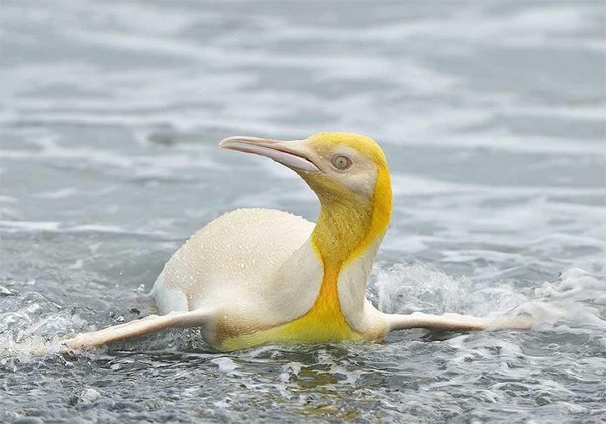 Fotografían a un pingüino amarillo por primera vez en la historia