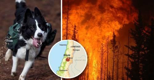 Estos perros son los únicos encargados de reforestar los bosques de Chile