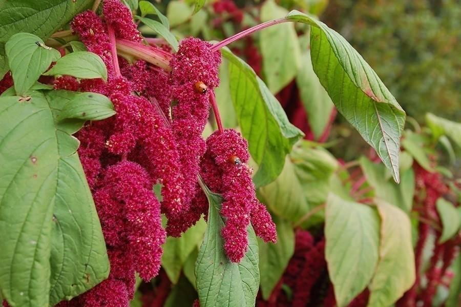 El amaranto: la planta justiciera que ataca a los cultivos transgénicos