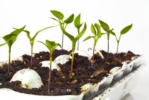 Cómo hacer un germinador de semillas con cajas de huevos