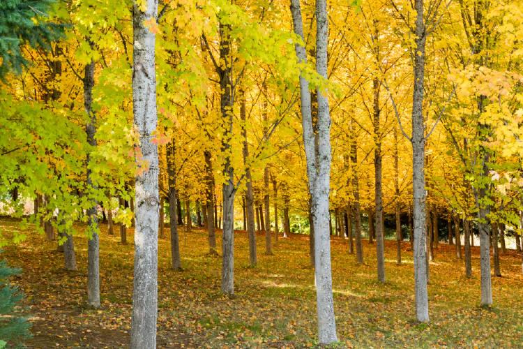 bosque arce