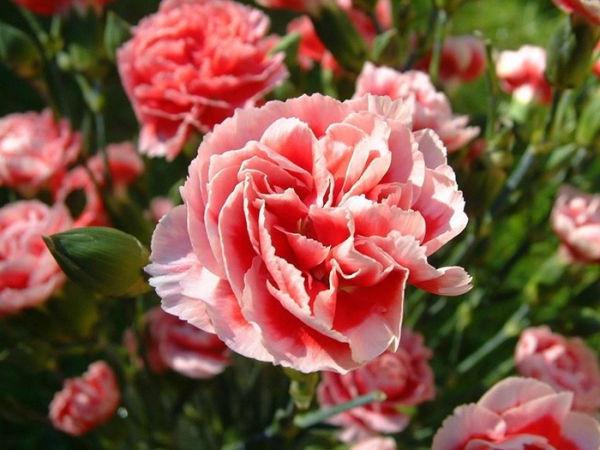 clavel-rosa