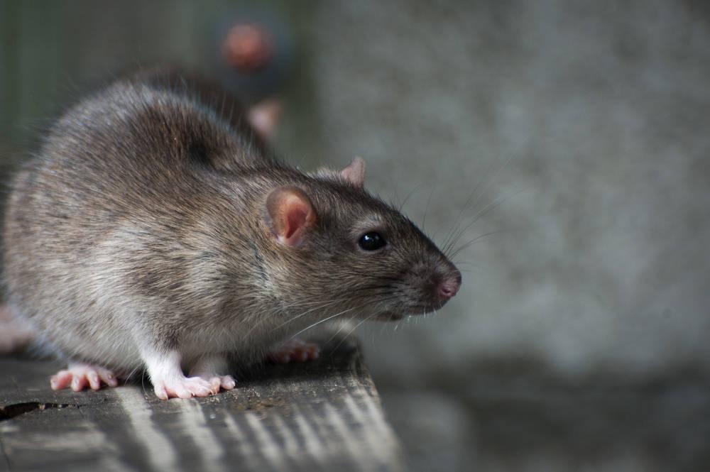 COVID-19: las ratas que consumen en el sudeste asiático albergan el virus