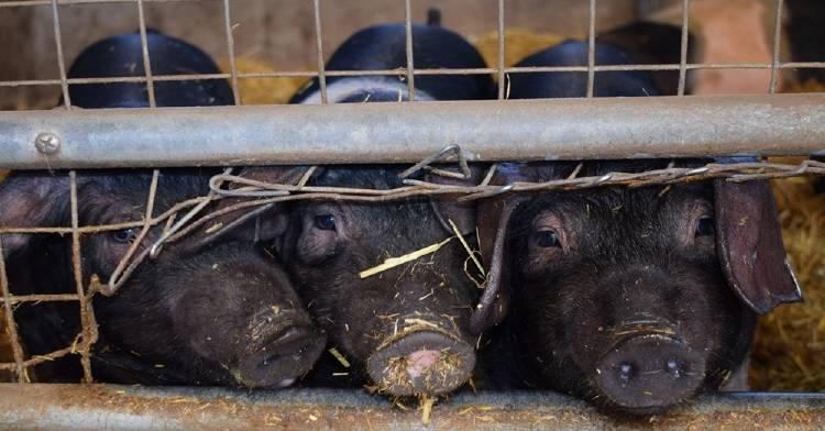 La vida de los cerdos puede ser inmunda, y la razón no es la que te estás imaginando