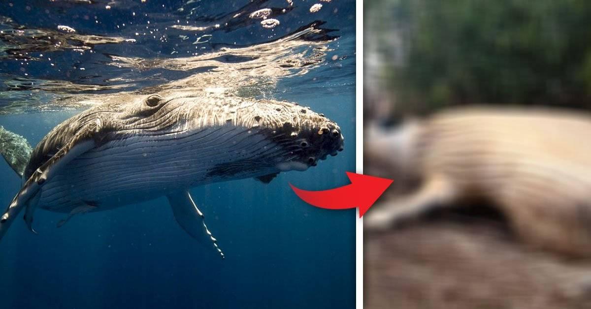 Apareció una ballena jorobada en plena selva amazónica